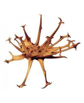 Macérât huileux d'Harpagophytum (Griffe du diable)